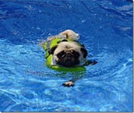 pug-swimming-tina-moreau[1]